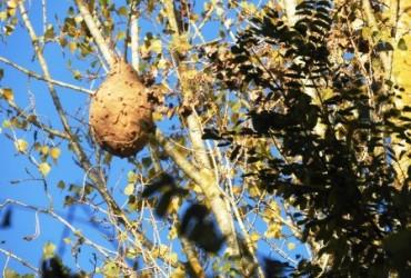 Vespa asiàtica  (vespa velutina)