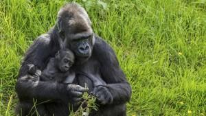 animal - 2 gorilla-little-debbie-2310